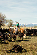 Cowgirls, drags calves to the fire, branding, Lazy SR Ranch, Wilsall, Montana, Jessie Sarrazin.