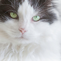 Black and white, long-haired male rescue kitty with plentiful whiskers.