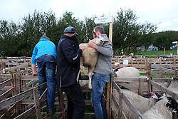 © Licensed to London News Pictures.26/08/15<br /> Egton, UK. <br /> <br /> A sheep is man-handled into a pen at the 126th Egton Show in North Yorkshire. <br /> <br /> Egton is one of the largest village shows in the country and is run by a band of voluntary helpers. <br /> <br /> This year the event featured wrought iron and farrier displays, a farmers market, plus horse, cattle, sheep, goat, ferret, fur and feather classes. There was also bee keeping, produce and handicrafts on display.<br /> <br /> Photo credit : Ian Forsyth/LNP