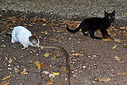 A domestic cat hunting and killing a viper snake Photographed in Israel in June