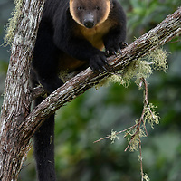 Endemic to the Bird's Head Peninsula of western New Guinea, the Vogelkop Tree Kangaroo (Dendrolagus ursinus) has become increasingly threatened by habitat loss and hunting.