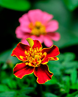 First Indoor Hydroponic Marigold Flower. Image taken with a Fuji X-T3 camera and 80 mm f/2.8 macro lens (ISO 160, 80 mm, f/5.6, 1/60 sec).