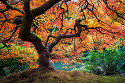 A Japanese Maple in Portland, Oregon.