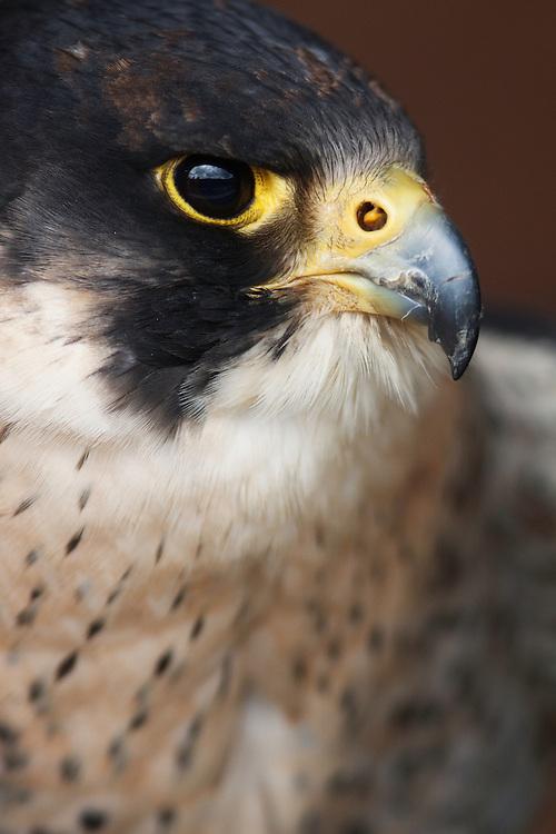 Peregrine falcon adult, Falco peregrinus, captive bird, Burren, Ireland