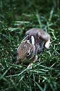 Young rabbit, aproximately two weeks old.