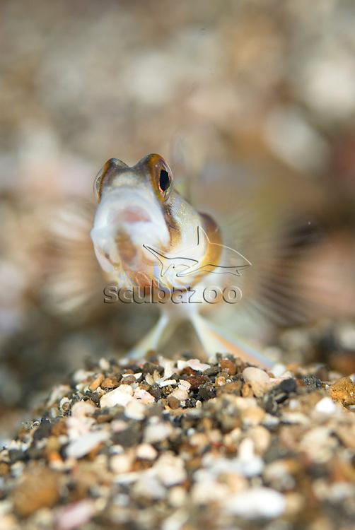 Slantbar Shrimpgoby, Amblyeleotris diagonalis, in burrow, KBR, Lembeh Strait, Sulawesi, Indonesia.