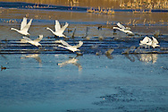 Tundra Swans take flight off a small lake near Cardston, Alberta during their fall migration.