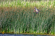 Blue winged teals in flight  at Medicine Lake National Wildlife Refuge, Montana, USA
