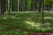 Meadow in a forest covered in wild garlic