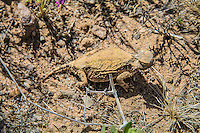 This round-tailed horned lizard would not have been spotted had it not suddenly dashed out from where it stood motionless right in front of me in the Chihuahuan Desert in New Mexico's Socorro County. One of the smallest of the horned lizards, these delicate desert-dwellers make their living eating mostly harvester, honey-pot and big-headed ants, with the occasional termite, small insect or larvae. What is most amazing about them is their natural camouflage!