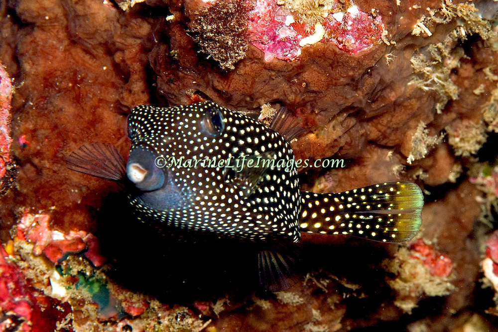 Spotted Boxfish inhabit reefs. Picture taken Raja Ampat, Indonesia.