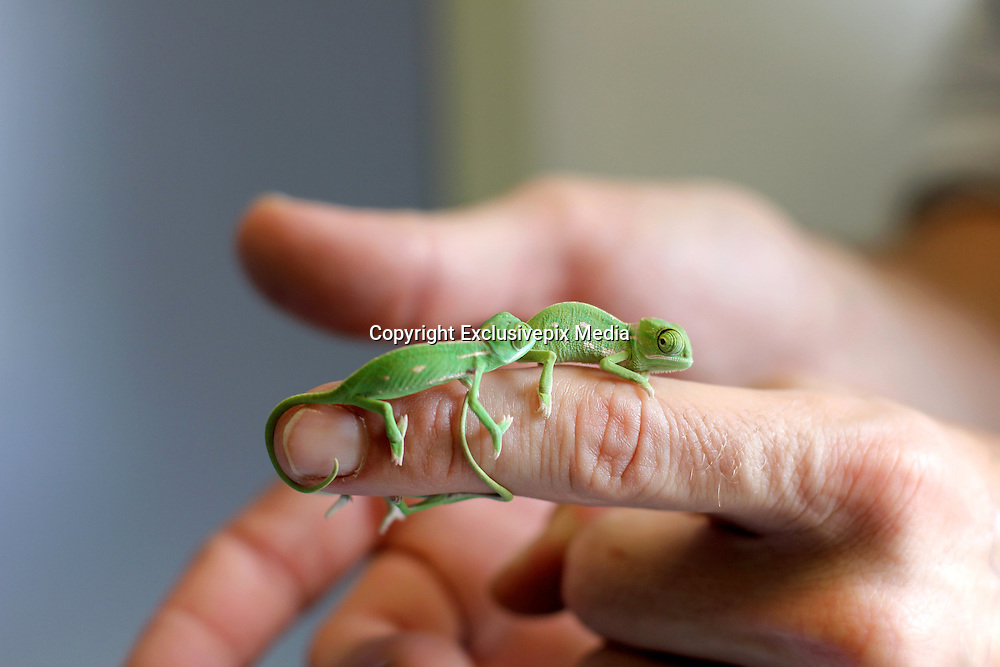 They are bright green, adorable and so tiny that they fit on the end of a finger or pencil: More than 20 baby chameleons make a big impression after hatching at Taronga Zoo<br /> <br /> They are bright green, so teen tiny that they sit comfortably on a pencil or fingertip - and too adorable that is it hard to believe they are actually real.<br /> New veiled chameleon hatchlings have just popped out into the world at Sydney's Taronga Zoo and their almost cartoon-like looks are already winning the world over. <br /> Two of the final three clutches of the eggs have already hatched this week with the third in the process of producing the last of the seriously cute critters.<br /> More than 20 baby chameleons, which are currently only 5cm long but will grow to about 30cm, are the first born at the zoo in over five years.<br /> <br /> Housed in a special temperature-controlled area behind the scenes at Taronga's Reptile World, the hatchlings have begun feeding on crickets and turning on a bright green colour display for keepers.<br /> Reptile supervisor, Michael McFadden said the chameleons, which are native to Yemen and Saudi Arabia, would be mature and able to showcase their full colour palette within a year.<br /> 'Veiled chameleons are a visually amazing species that we're fortunate to have at Taronga,' McFadden said. <br /> 'While they're not endangered, they do play an important educational role in helping us to get people excited about reptiles and reptile conservation.'<br /> <br /> Normally a shade of green or brown while at rest, the chameleons can change colour when frightened, courting or defending their territory.<br /> 'You'll see shades of green, yellow, aqua and even very dark brown or black depending on their temperature, mood and reproductive behaviour,' McFadden said. <br /> 'However, they don't change colour to match a particular background like you see in cartoons.'<br /> Built for a life in the trees, the veiled chameleons also have zygodactyl feet t