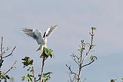 Black-winged Kite (Elanus caeruleus) on treetop, hulla valley, israel