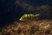 Peacock Bass (Cichla ocellaris) protecting Fry<br /> Karanambu<br /> Rupununi<br /> GUYANA<br /> South America