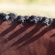 A braided horses mane during the Dressage event at the Wakatipu One Day Horse Trials at the Pony Club grounds,  Queenstown, Otago, New Zealand. 15th January 2012. Photo Tim Clayton