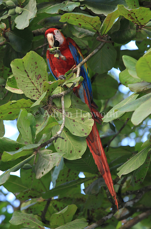 Scarlet Macaw (Ara macao) feeding on fruit in a tropical almond tree. Corcovado National Park, Osa Peninsula, Costa Rica. <br />