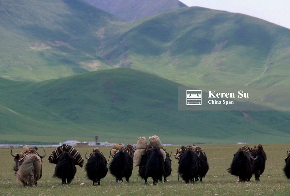 Yak caravan carrying goods with mountain range behind on the Tibetan Plateau, Tibet, China