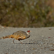 Cheer Pheasant ( Catteus wallichi )<br />