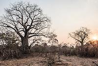 Baobab Trees at sunset, Majete Wildlife Reserve, Malawi.