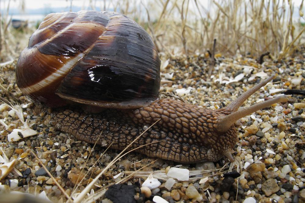 Turkish snail, or Balkan edible snail, Helix lucorum (Gastropoda, Pulmonata, Helicidae), <br /> Stenje region, Lake Macro Prespa (850m) <br /> Galicica National Park, Macedonia, June 2009<br /> Mission: Macedonia, Lake Macro Prespa /  Lake Ohrid, Transnational Park<br /> David Maitland / Wild Wonders of Europe
