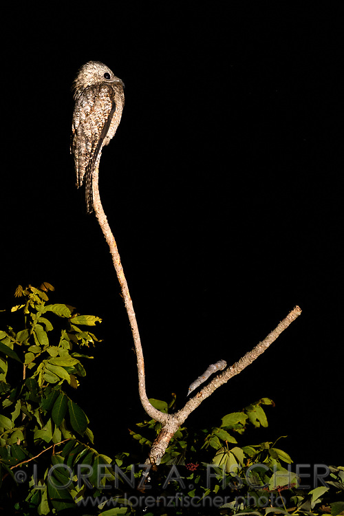 A common potoo (Nyctibius griseus) at night on his look-out, Pantanal, Mato Grosso do Sul, Brazil
