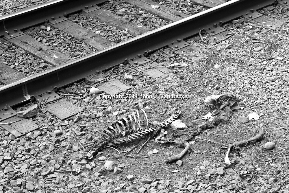 A deer carcass skeleton picked clean next to railroad tracks. Bear Mountain State Park, New York, USA