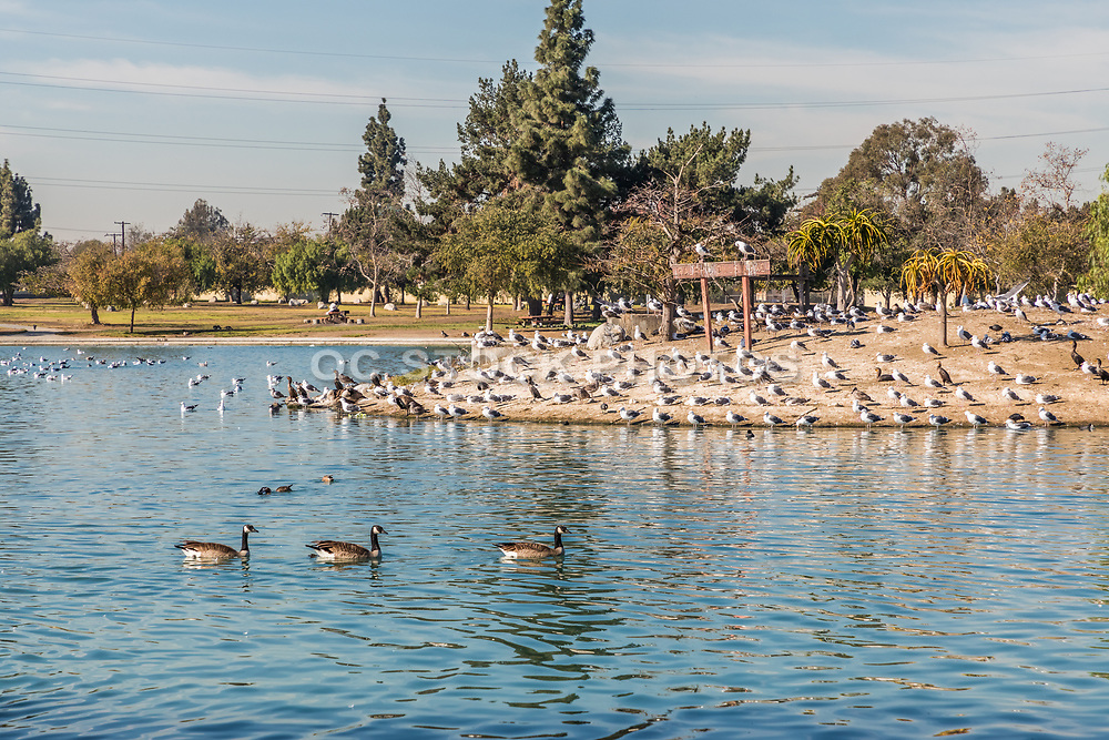 Ducks on the Lake at Earvin Magic Johnson Recreation Area