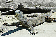 Animals, Lizard.<br />