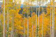 Aspens show off their fall colors in the Colorado State Forest State Park, September 29, 2017.