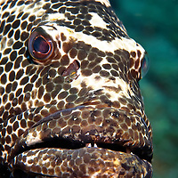 Closeup picture of Groupers face