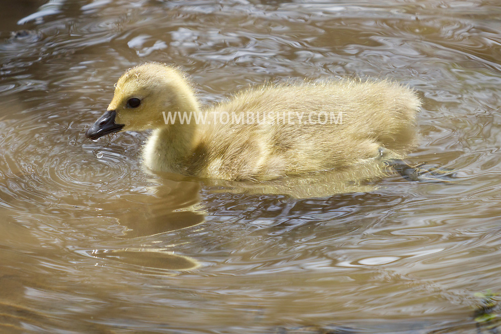 Middletown, New York - A Canada goose gosling paddles through the water at Fancher-Davidge Park on April 28, 2013.