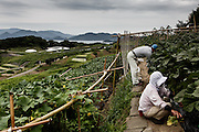 Teshima, July 2 2013 - Locals working in their plantations in front of Teshima museum by Ryue Nishizawa (SANAA).