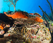 A pair of spiny lobsters are seen in a coral ledge along the north coast of Cuba.