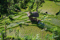 Looking down on some rice paddies and a hut in Bali, Indonesia.