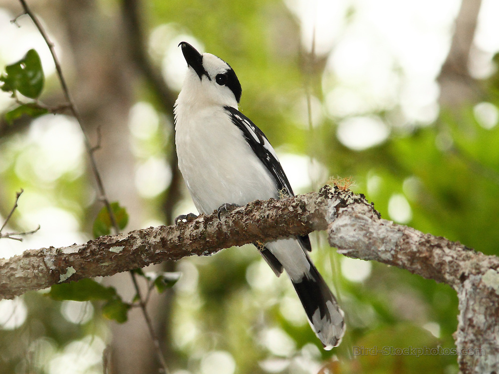 Hook-billed Vanga, Vanga curvirostris, Madagascar, by Markus Lilje