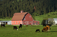 Red Barn and cattle, Wallowa Valley, near Joseph Oregon, Wallowa Mountains in the background.