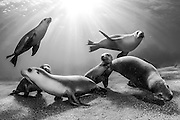 Rare and endangered Australian Sea Lions (Neophoca cinerea) swim and play  in the shallows of Hopkins Island, South Australia. Endangered. IUCN Red List. Camera equipment: Nikon D700, Nikon 16mm lens, Aquatica camera housing, two Inon 220 underwater strobes. 1/250 @ f13, ISO 640