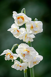 Double Narcissus 'Abba'