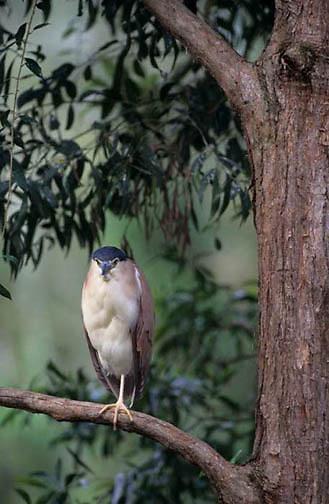 Nankeen, (Rufous) Night Heron, (Nycticorax caledonicus) Australia.