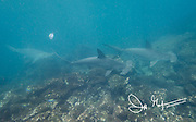 Scalloped hammerhead sharks swim along the seafloor near Genovesa island, part of the Galapagos islands, Ecuador.