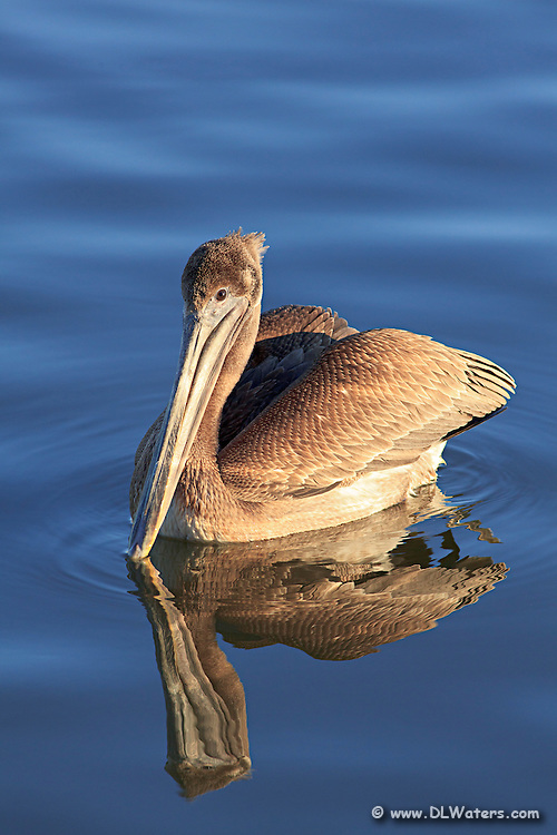 A young brown pelican. Photographed at Wancheese North Carolina.