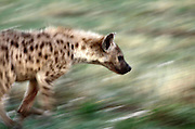 Spotted Hyena on the move. Etosha National Park, Namibia, Southern Africa. .Picture © Z&D Lightfoot. www.lightphoto.co.uk