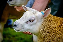 Biggar, South Lanarkshire, Scotland 23 July 2016<br /> <br /> Farmers showing Texel sheep in the show ring.<br /> <br /> (c) Andrew Wilson | Edinburgh Elite media