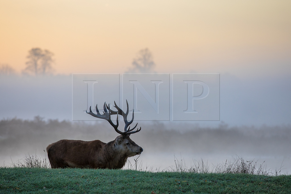 © Licensed to London News Pictures. 30/10/2017. London, UK. A stag seen through mist at sunrise in Bushy Park where plummeting overnight temperatures caused the first frost of the winter season. Photo credit: Rob Pinney/LNP