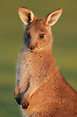 Macropods (kangaroos & wallabies)