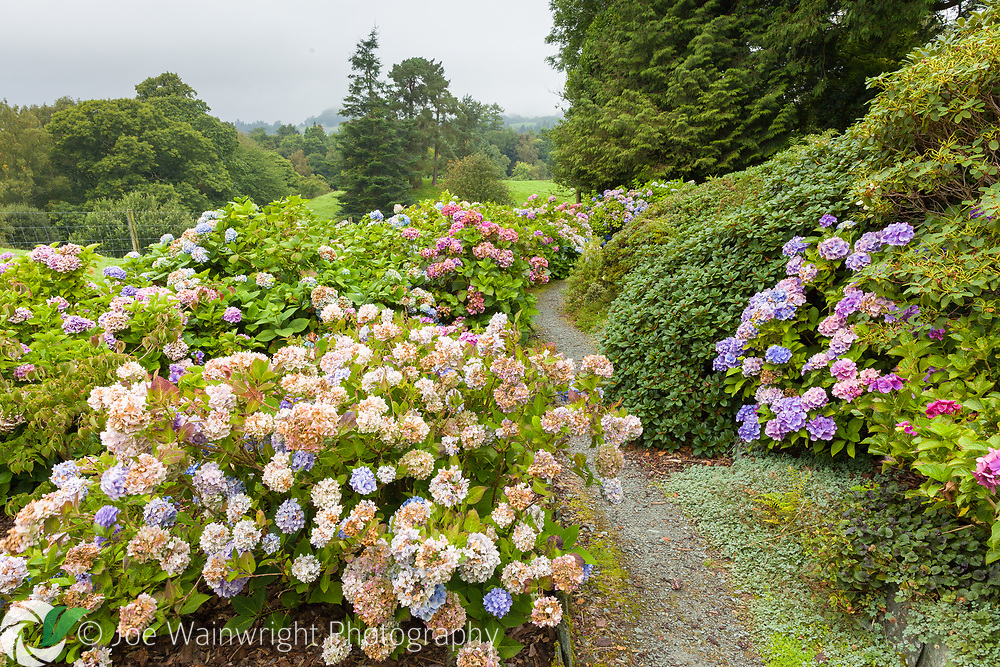 Holehird Gardens, Windermere, Cumbria belongs to Lakeland Horticultural Society. The Hydrangea Walk, featuring around 300 species and cultivars, is pictured here in August.