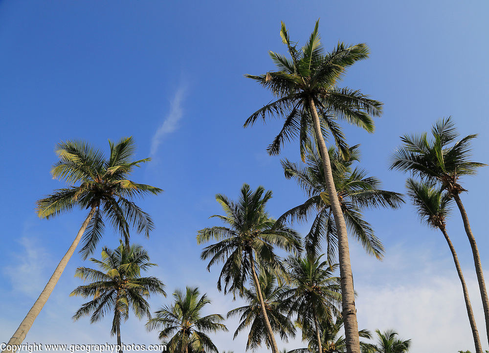 Coconut palm trees growing on sandy beach area, Nilavelli, Trincomalee, Sri Lanka, Asia