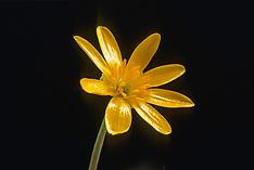 Ranonkel, boterbloem, Ranunculus