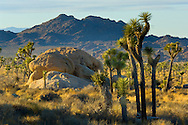 Sunlit Joshua Trees and boulder rock outcrop, near Quail Springs, Joshua Tree National Park, California