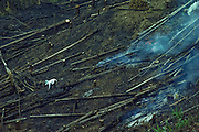 Slash and burn agricuture, Rainforest Sepilok Forest Reserve, Sabah, Borneo, Malaysia.